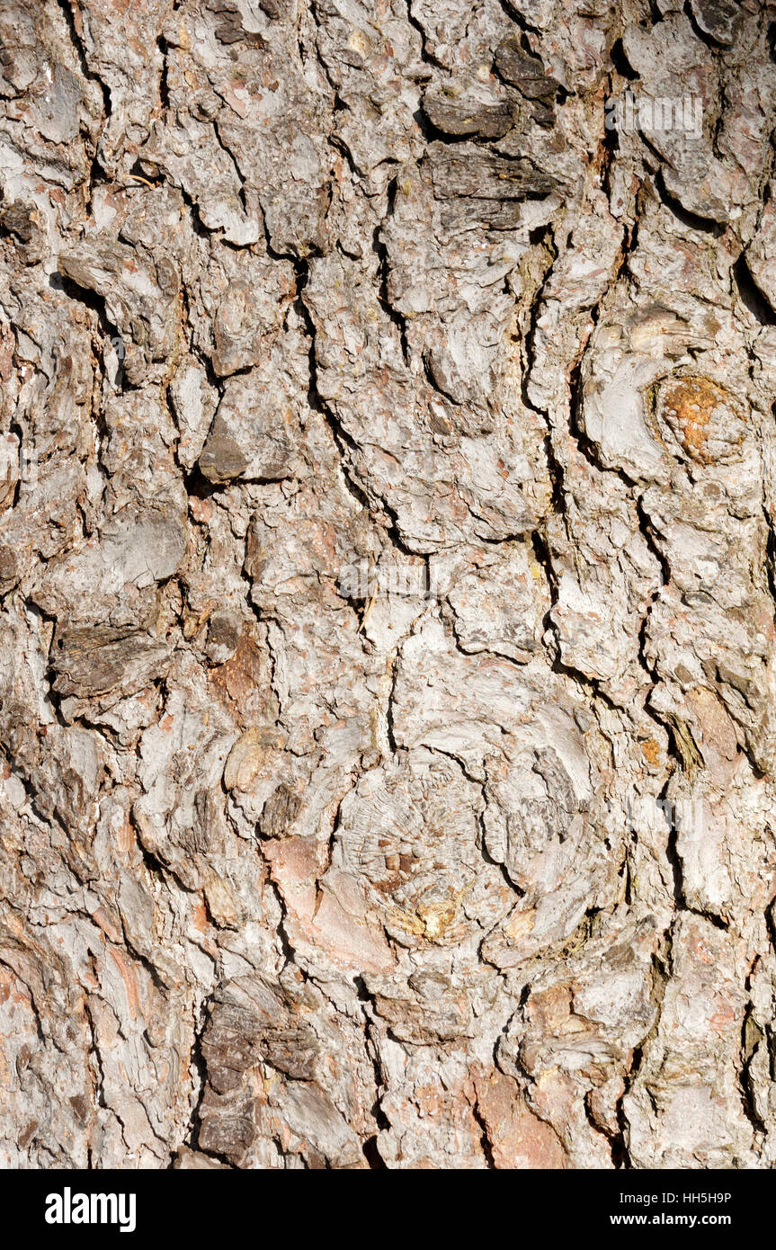 Rough bark of Norway spruce (Picea abies)  in Shaugnessy Park, Vancouver, British Columbia, Canada - Stock Image