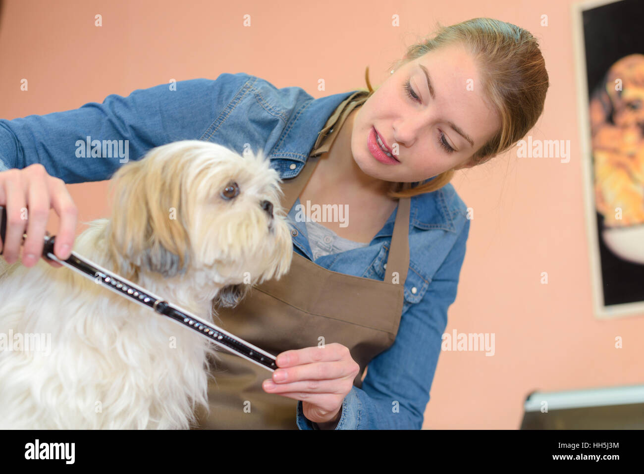 measuring the dog - Stock Image