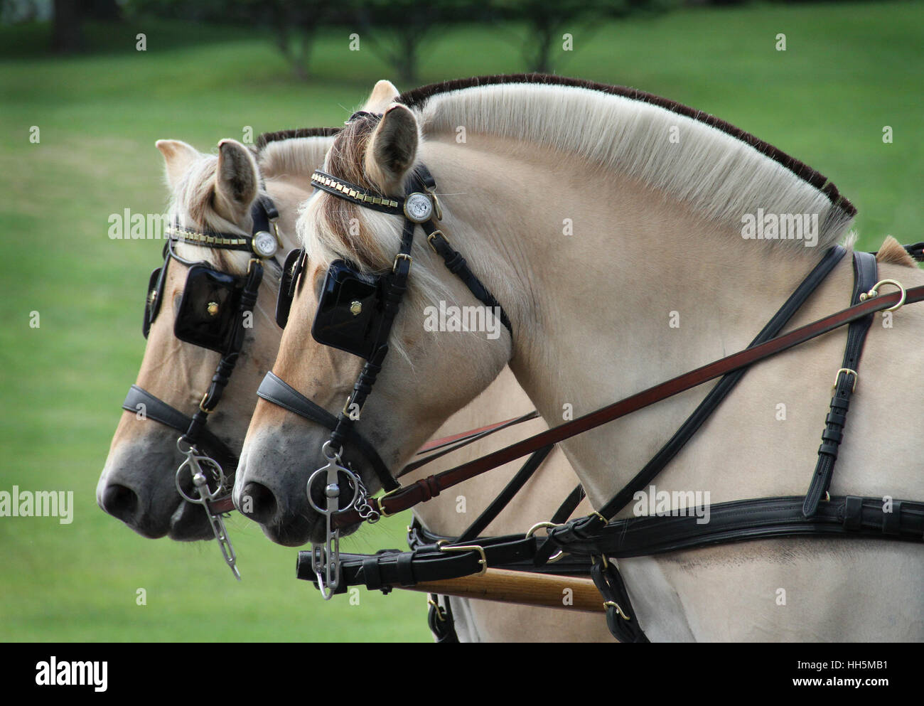 A beautifully matched pair of Norwegian Fjord horses in harness - Stock Image