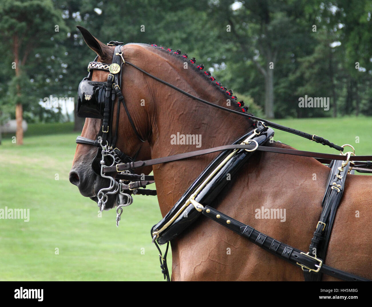 A beautifully turned out driving pair of horses - Stock Image