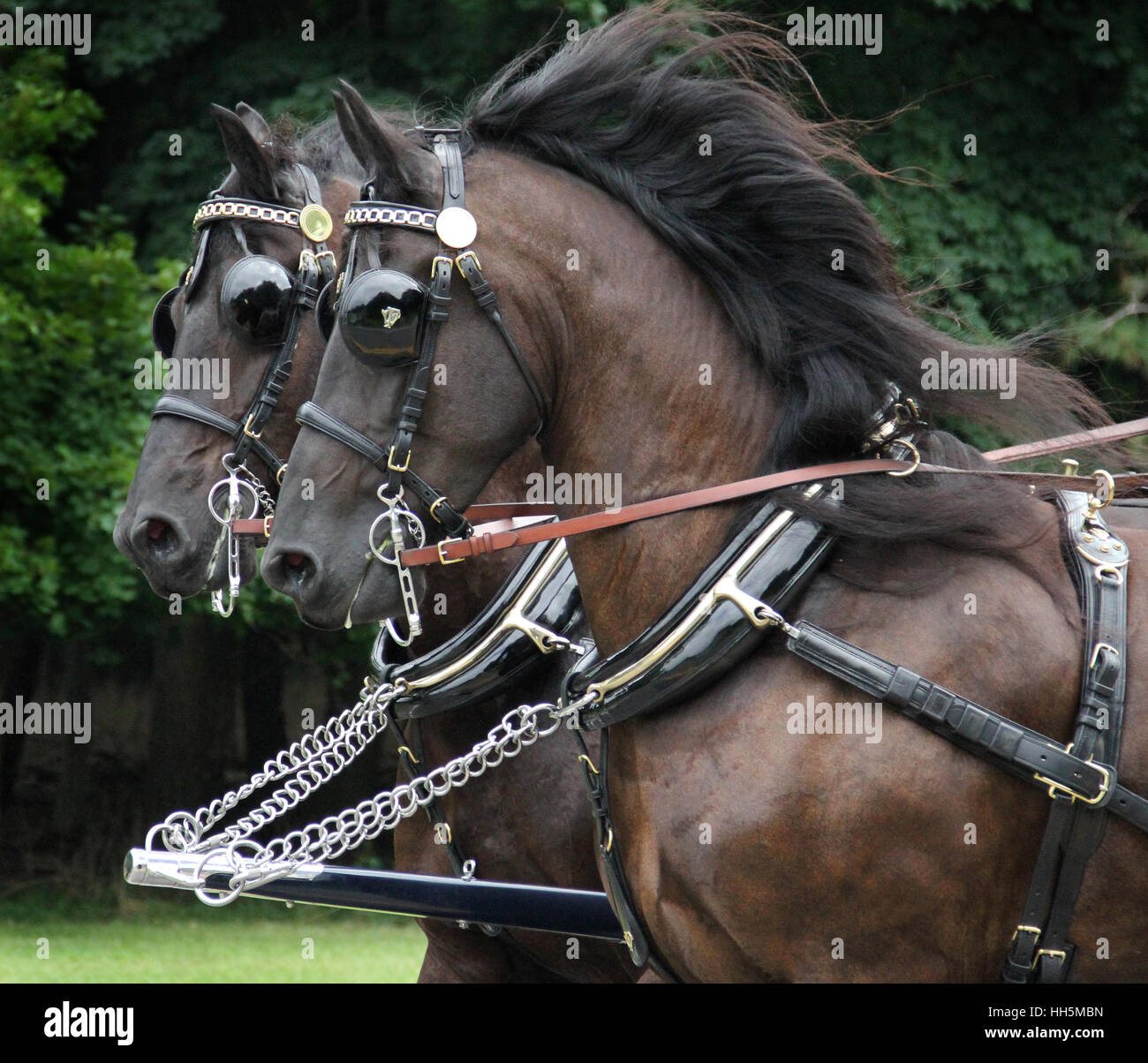 A striking pair of perfectly matched driving horses - Stock Image