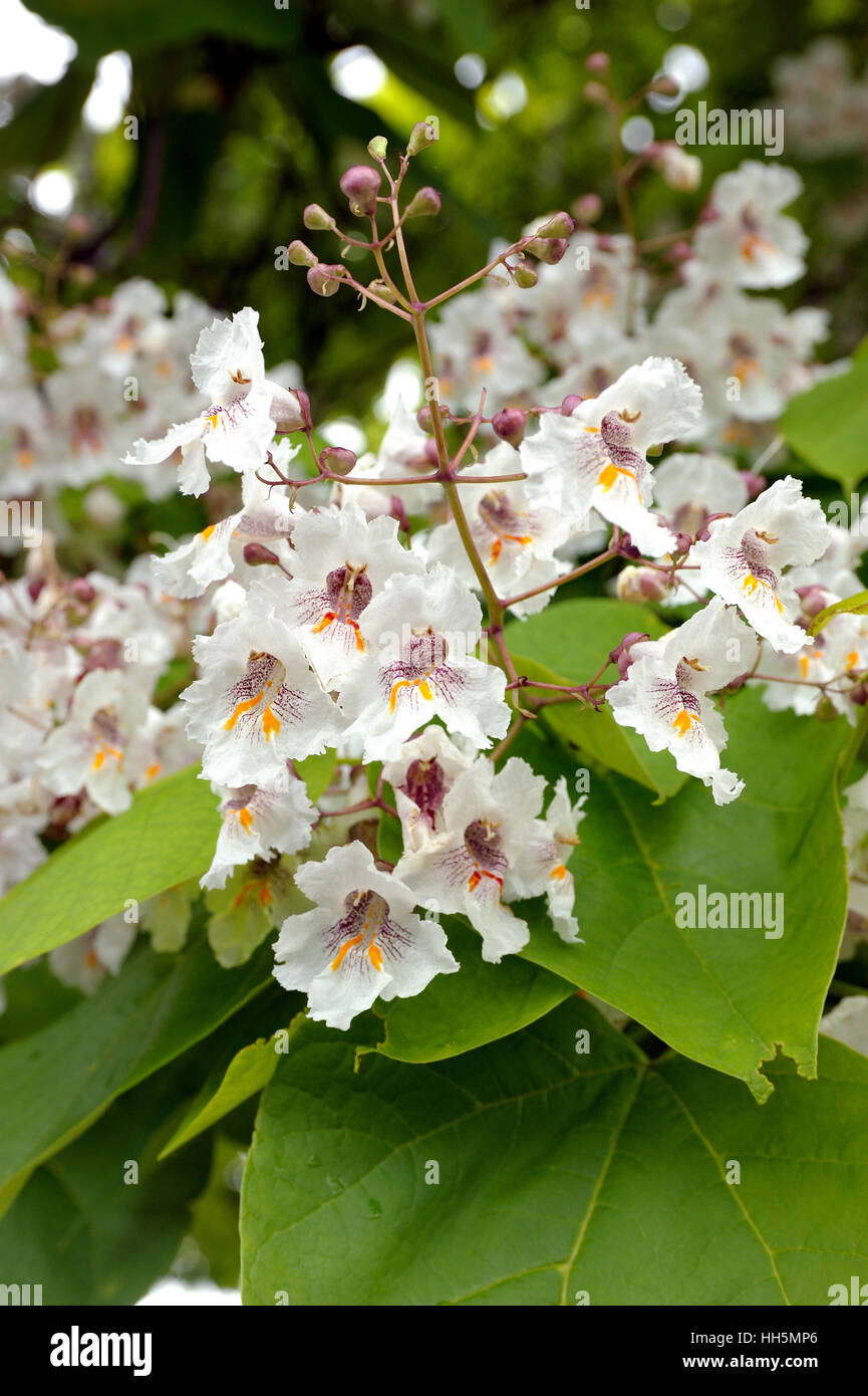 Tree with large white flowers catalpa bignonioides stock photo tree with large white flowers catalpa bignonioides mightylinksfo