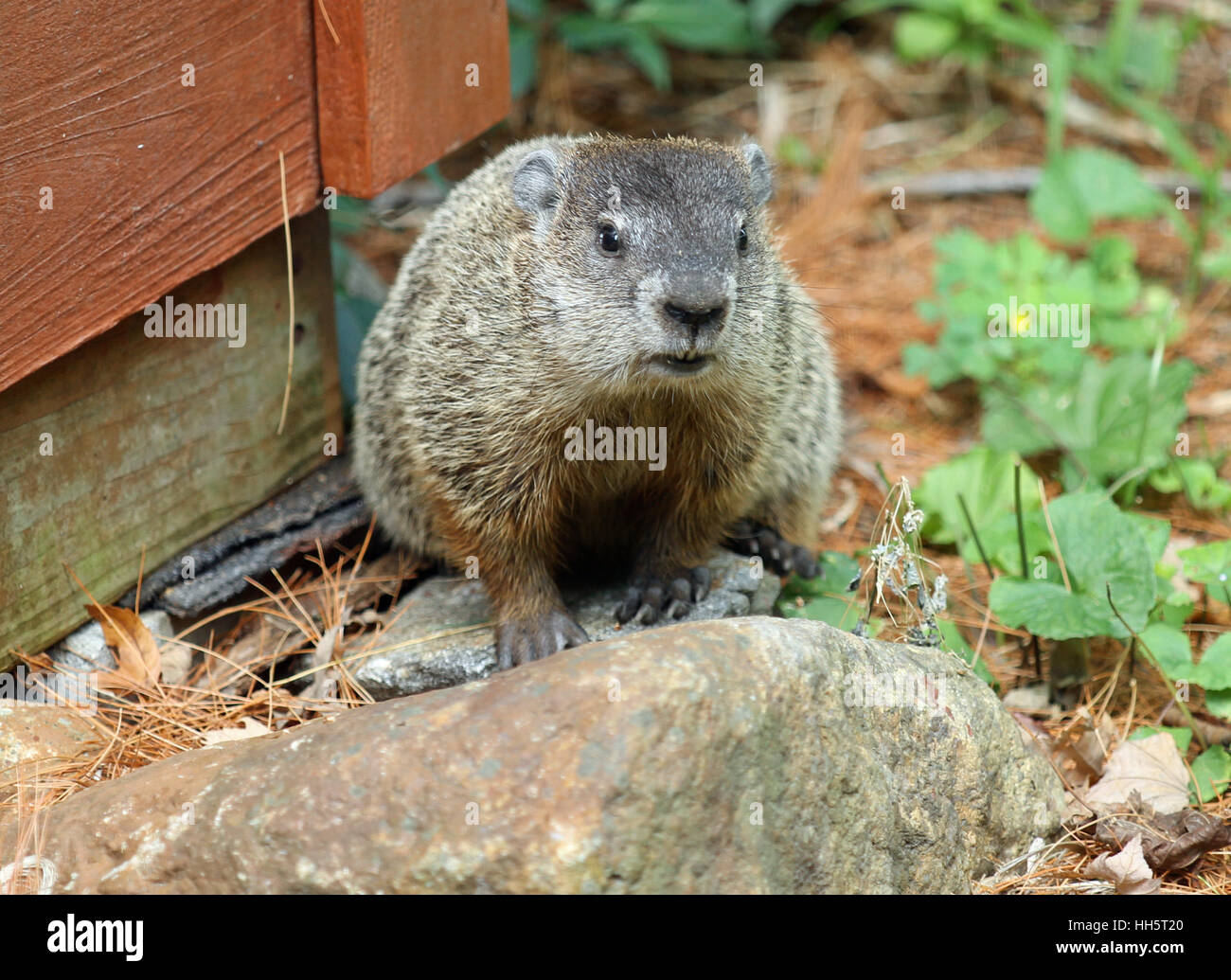 Groundhog (Marmota monax) with visible incisors sitting on a rock during a New England summer - Stock Image