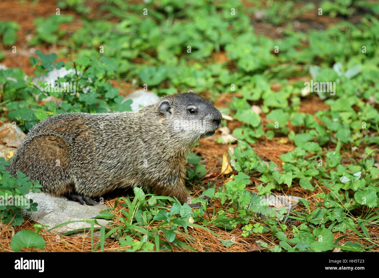 Groundhog (Marmota monax) eating ground cover during a New England summer - Stock Image