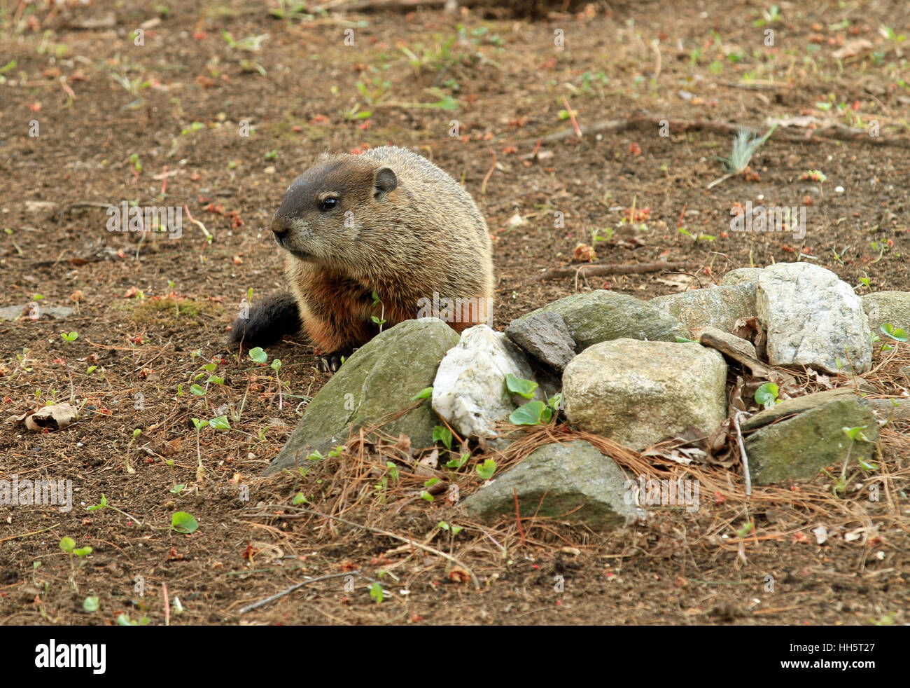Groundhog (Marmota monax) searching for food in early Spring - Stock Image