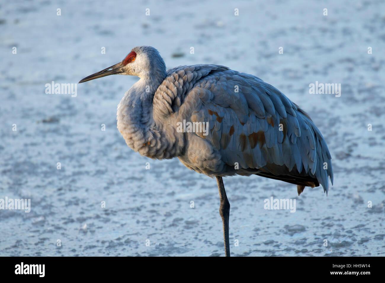 Sandhill crane, George C Reifel Migratory Bird Sanctuary, British Columbia, Canada - Stock Image