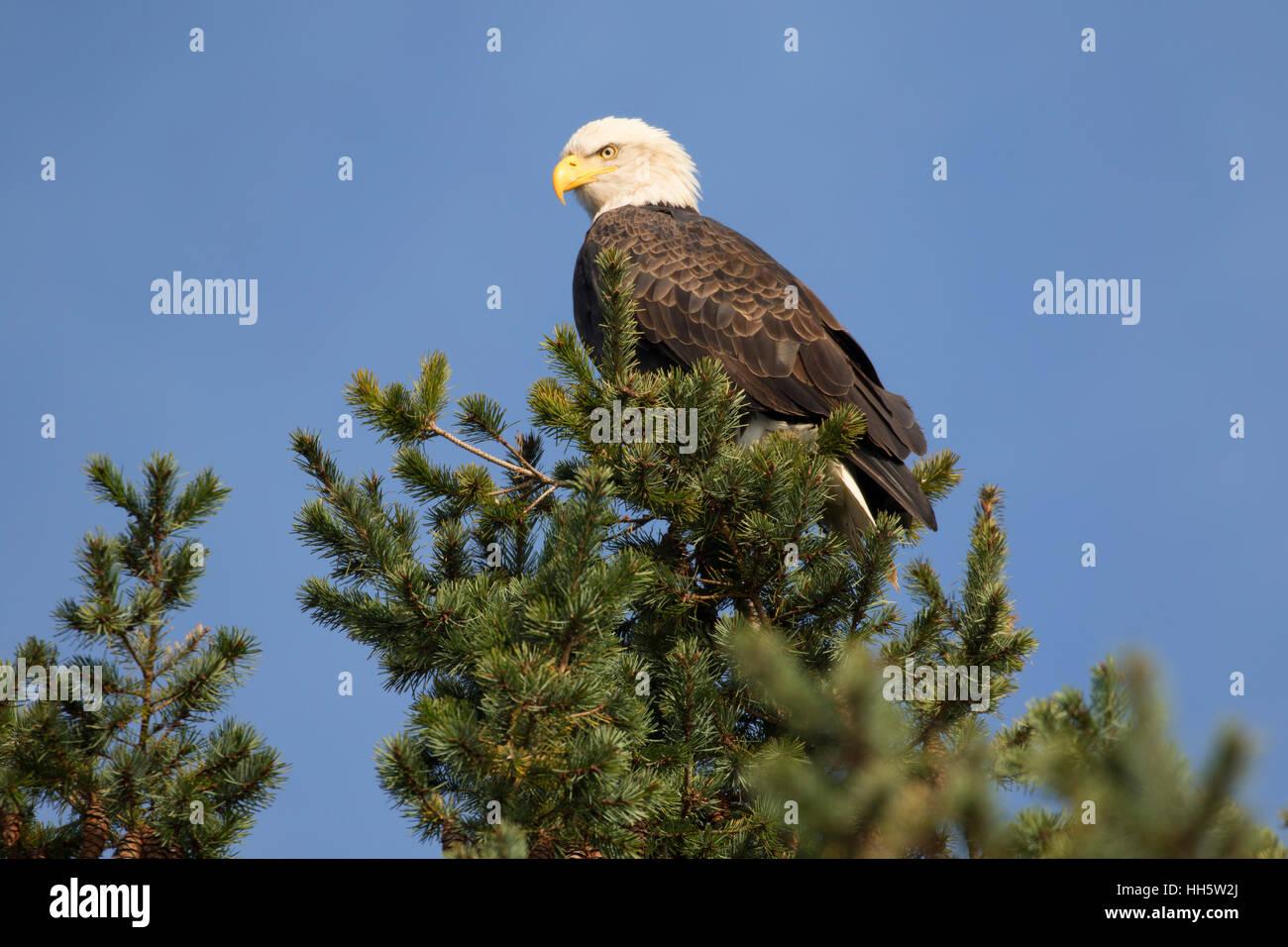 Bald eagle, George C Reifel Migratory Bird Sanctuary, British Columbia, Canada - Stock Image