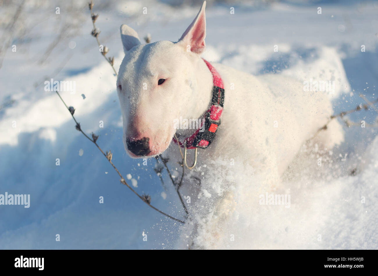 White English Bull Terrier on nature in the winter - Stock Image