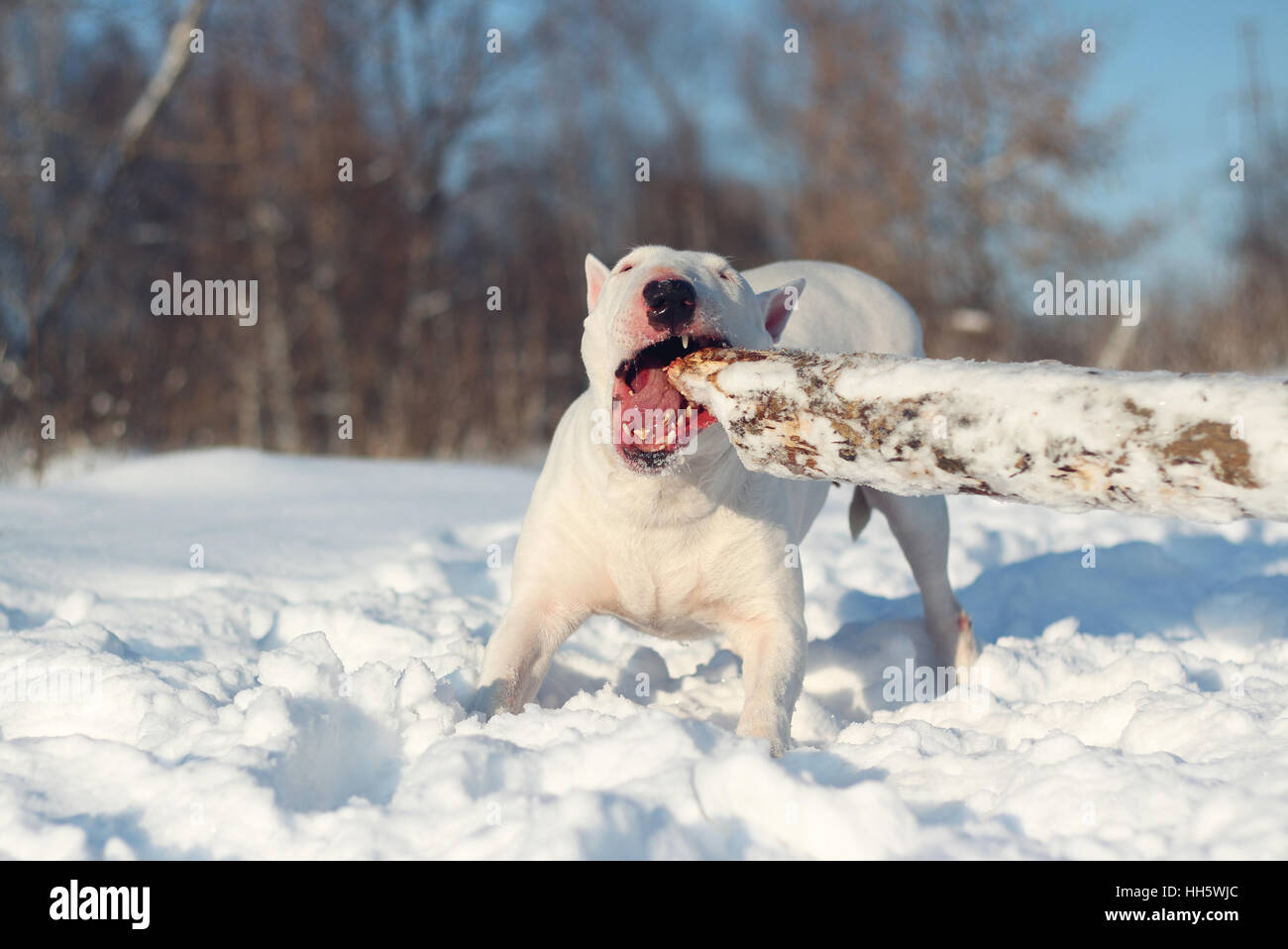 White English Bull Terrier play with a stick on nature - Stock Image
