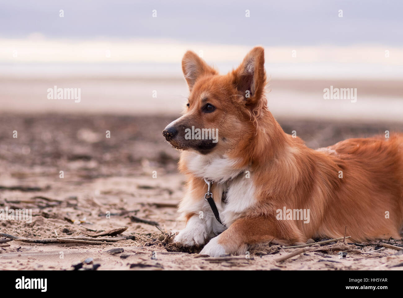 Photo of a dog with the lead (breed welsh pembroke corgi fluffy, red colored) sitting on the sand on a beach on - Stock Image