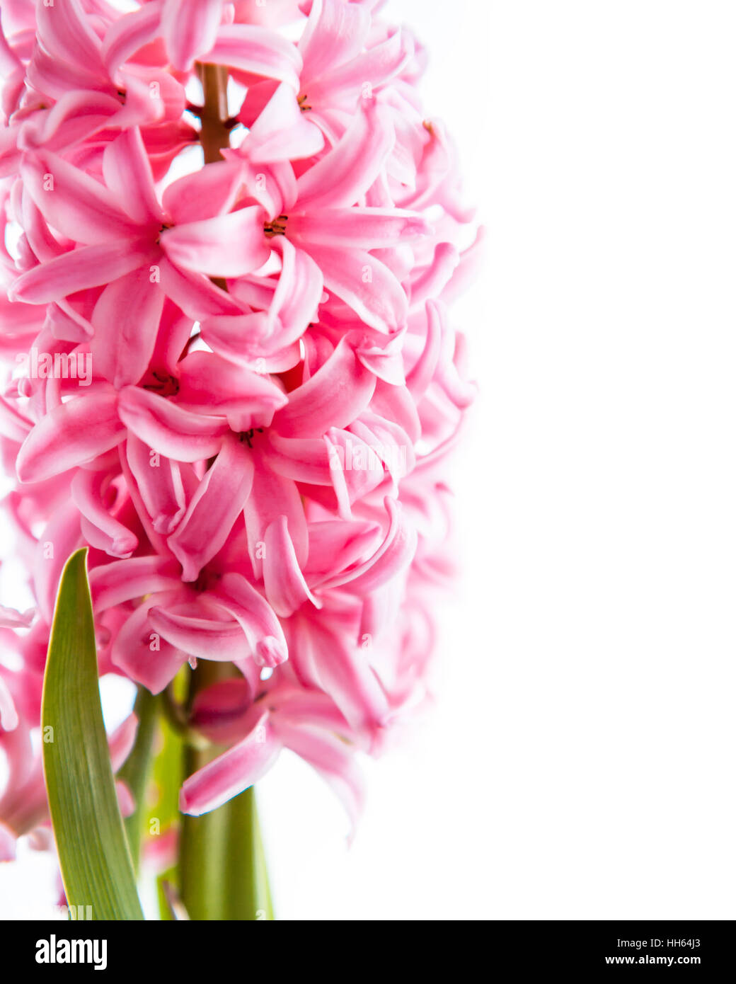 Spring pink hyacinth flower on white background Stock Photo