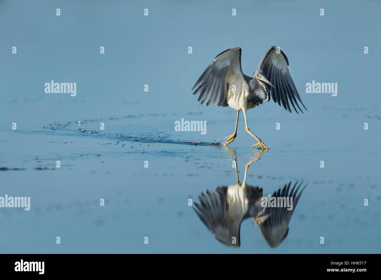 A Tri-colored Heron appears to be running on the surface of calm water with a reflection. - Stock Image