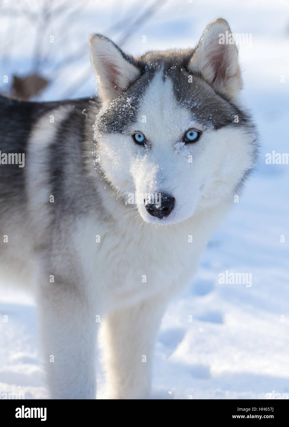 Dog Blue Eyes Grey Fur