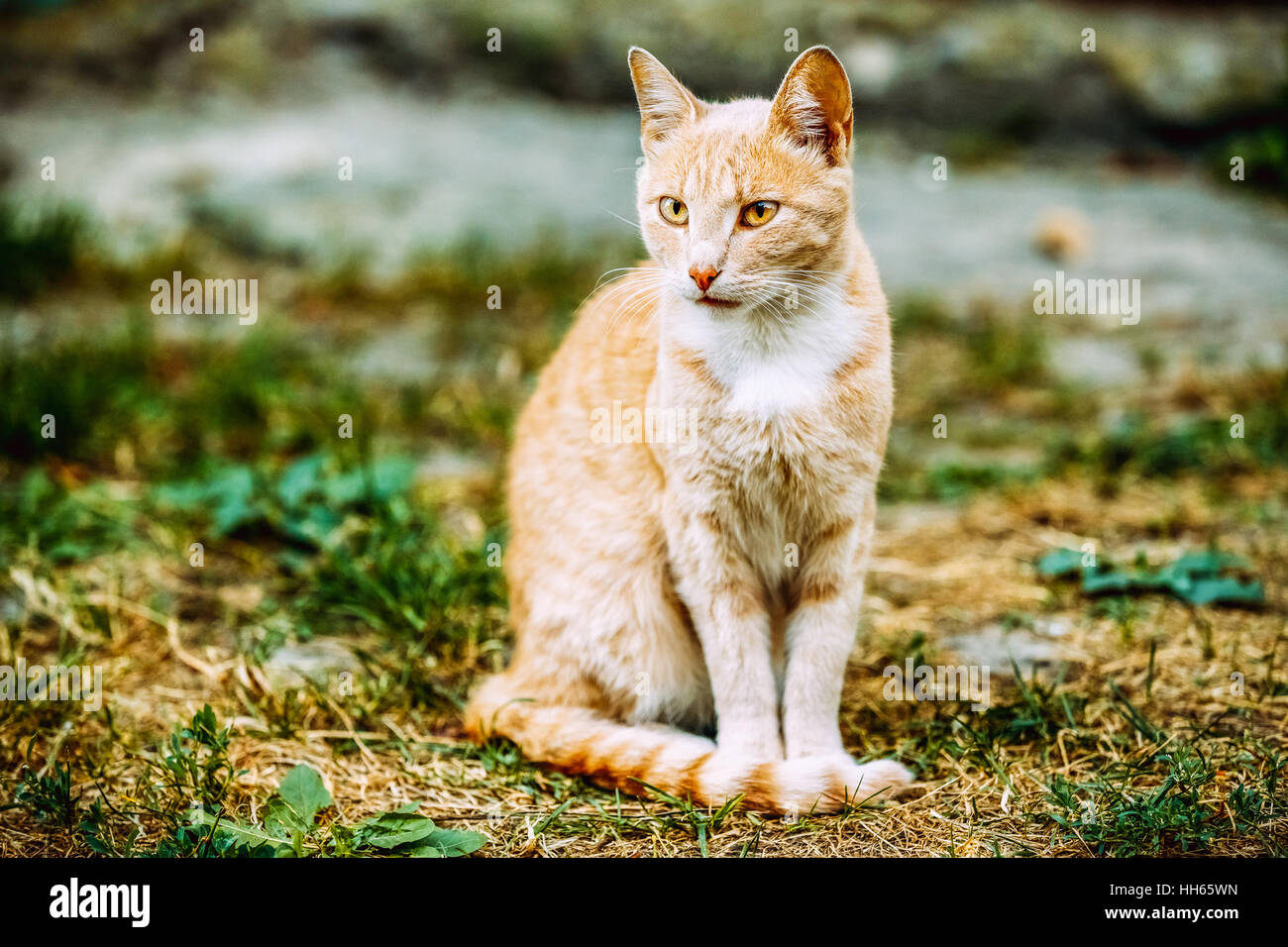 Beige Peachy Mixed Breed Domestic Adult Cat, Lazy Looking Aside, Tucked Paws On The Yellowed Grass. Copyspace. - Stock Image
