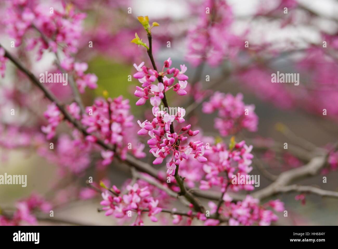 Pink cherry blossom and buds on a twig - Stock Image