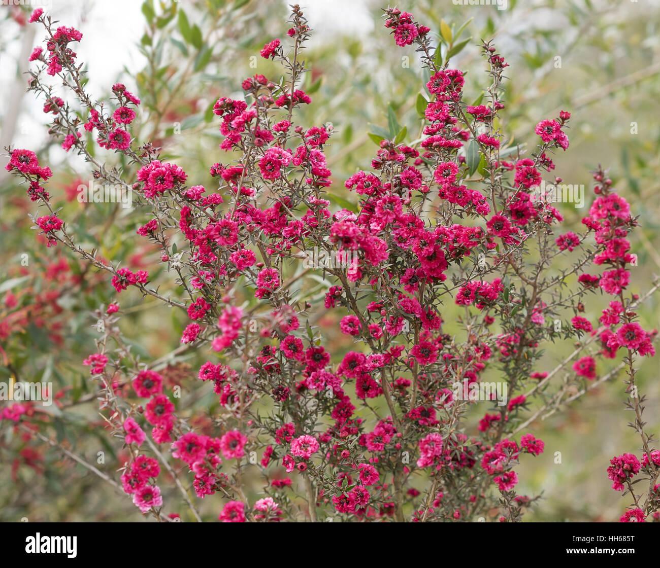 Australian Leptospermum scoparium Burgundy Queen with  profuse small double burgundy pink flowers - Stock Image