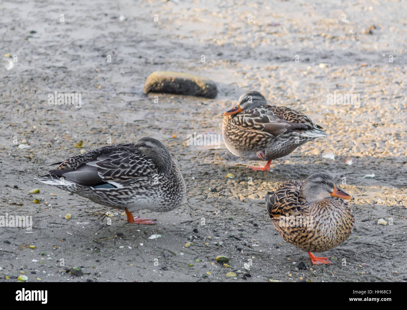 a group of three mallards, ducks all standing on one leg each in Sag Harbor, NY - Stock Image