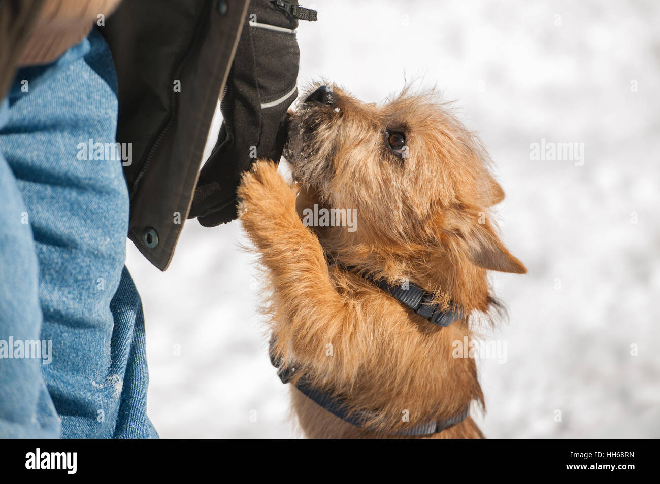 Simple Cairn Terrier Ball Adorable Dog - cute-cairn-terrier-puppy-playing-outside-in-cold-winter-snow-young-HH68RN  Pic_662776  .jpg