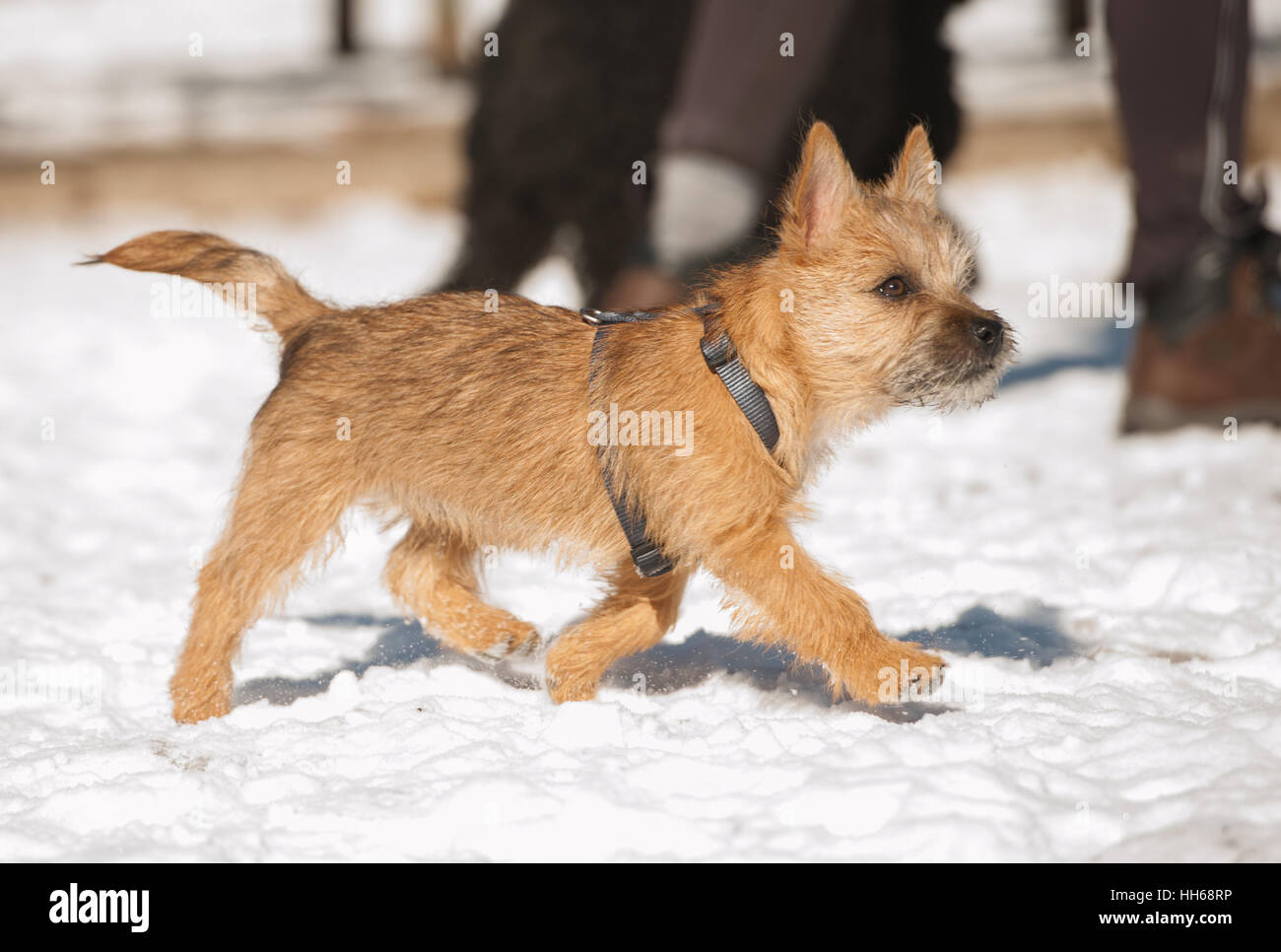 Good Cairn Terrier Ball Adorable Dog - cute-cairn-terrier-puppy-playing-outside-in-cold-winter-snow-young-HH68RP  Image_104270  .jpg