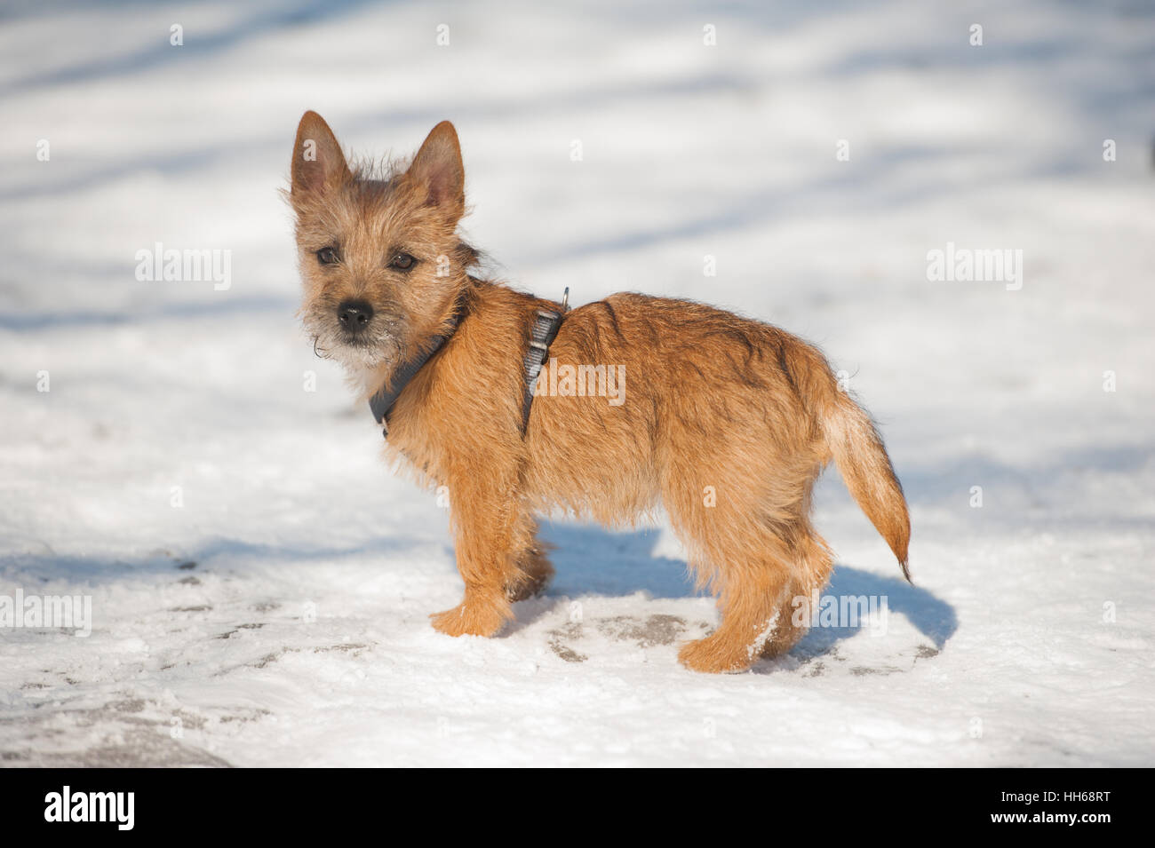 Good Cairn Terrier Ball Adorable Dog - cute-cairn-terrier-puppy-playing-outside-in-cold-winter-snow-young-HH68RT  Image_104270  .jpg