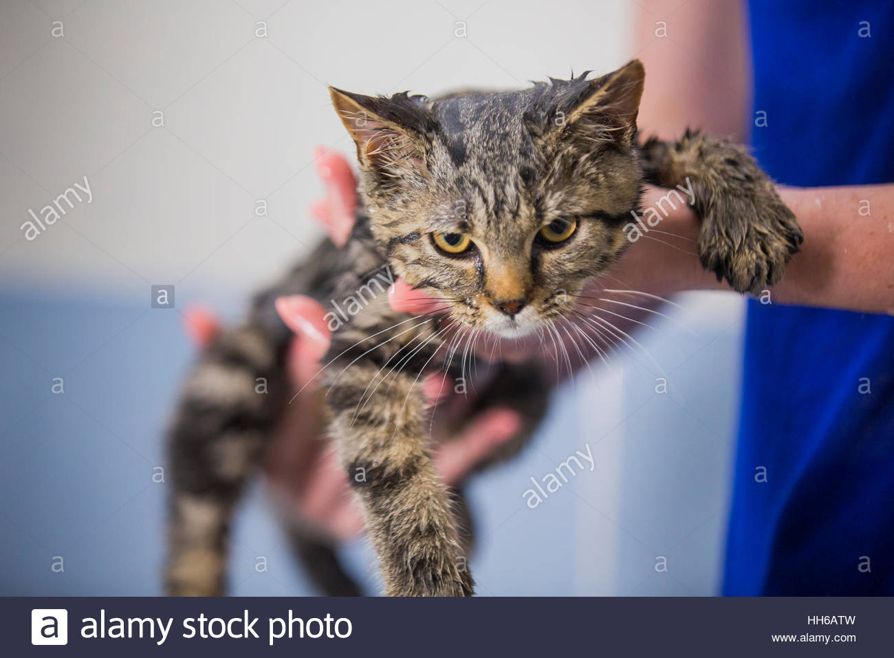Person holding cute British cat after shower. Looking at camera. - Stock Image