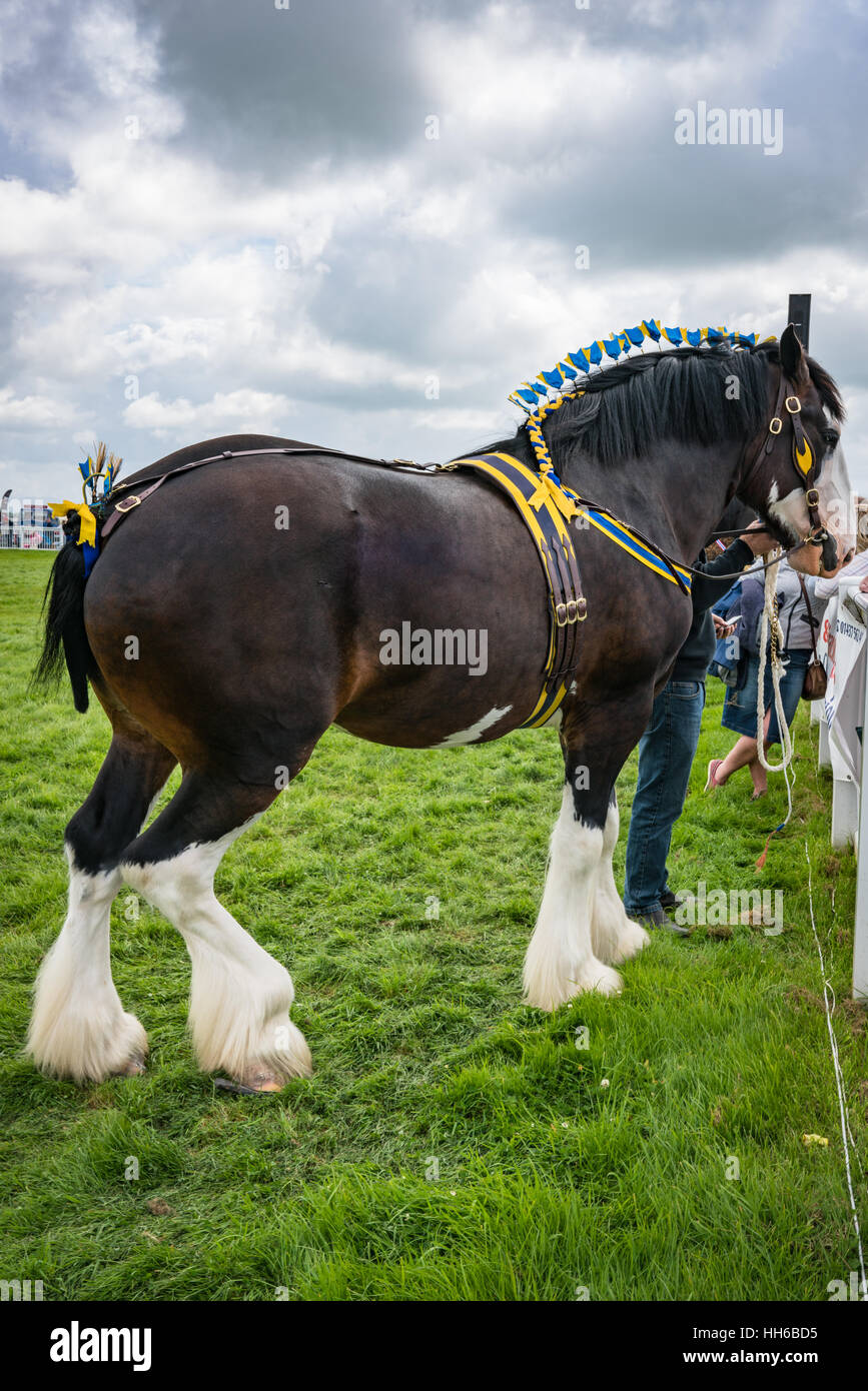 Bay Shire Horse at the Anglesey Show - Stock Image