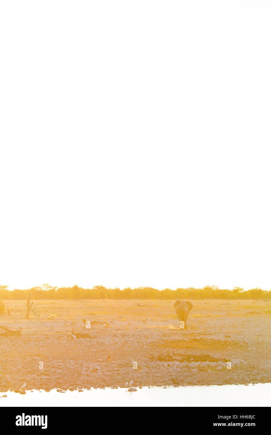 Etosha National Park, Namibia. African elephant walking into sunset. - Stock Image