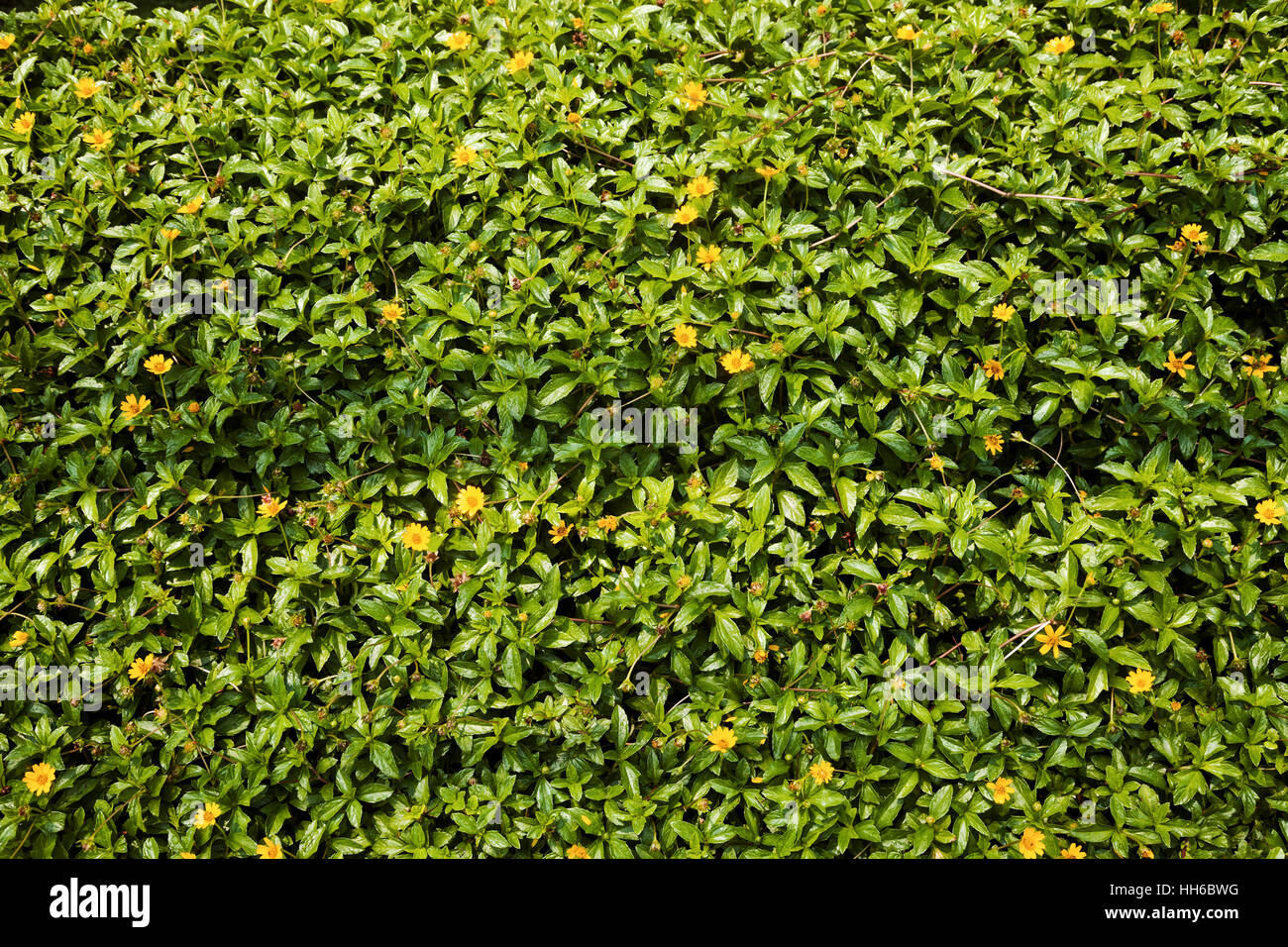 Small Yellow Lawn Flowers Background Butter Daisy Herb In The Stock