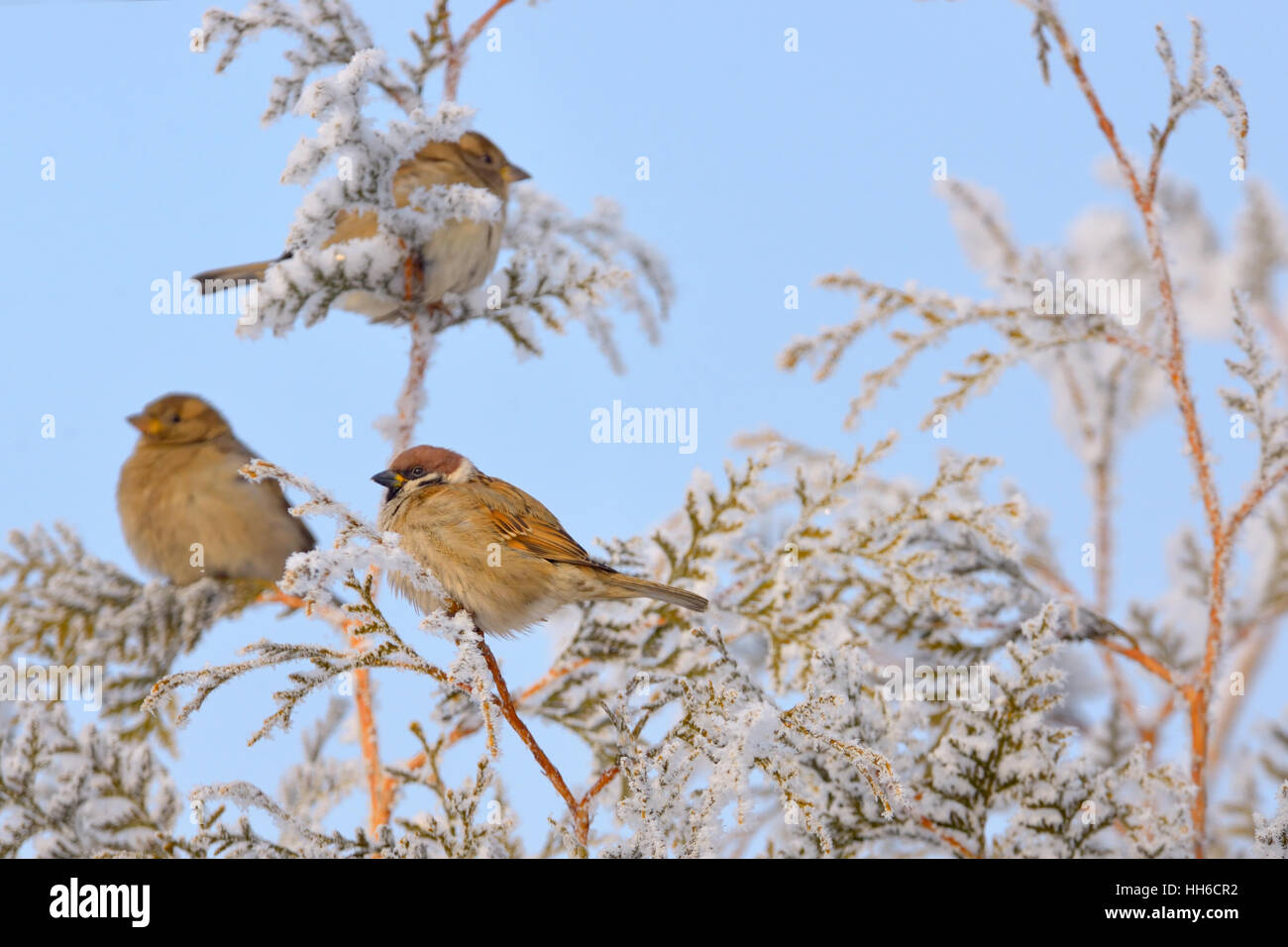 Little Sparrows on pine tree branch in winter - Stock Image