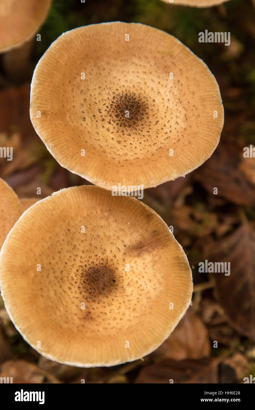 Honey Fungus, Armillaria Mellea, New Forest Hampshire Autumn 2016 - Stock Image