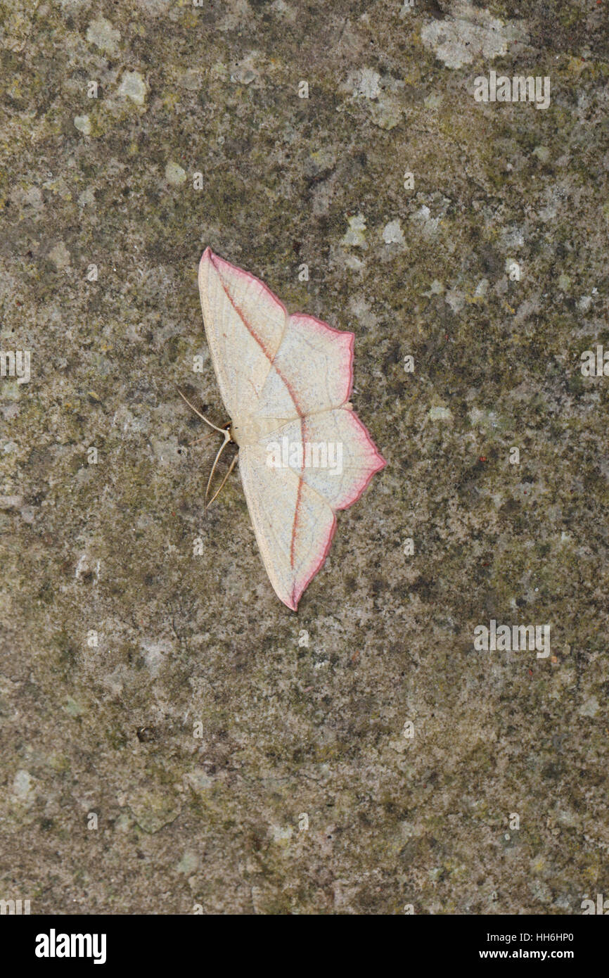 Bloodvein (Timandra comae), an angular cream and pink moth, perched on a stone Stock Photo