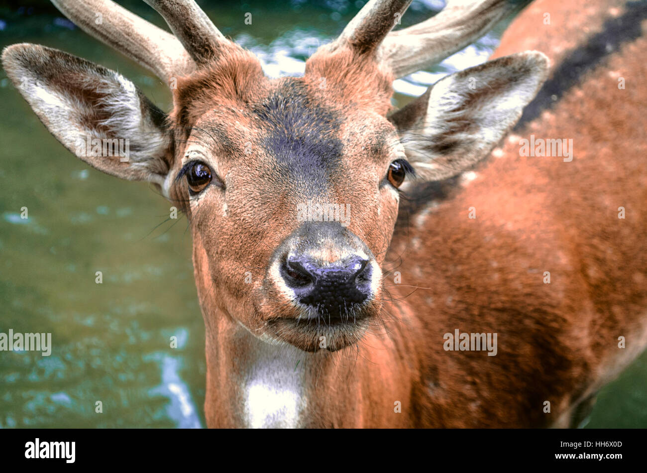 Spotted redheaded deer in water - Stock Image