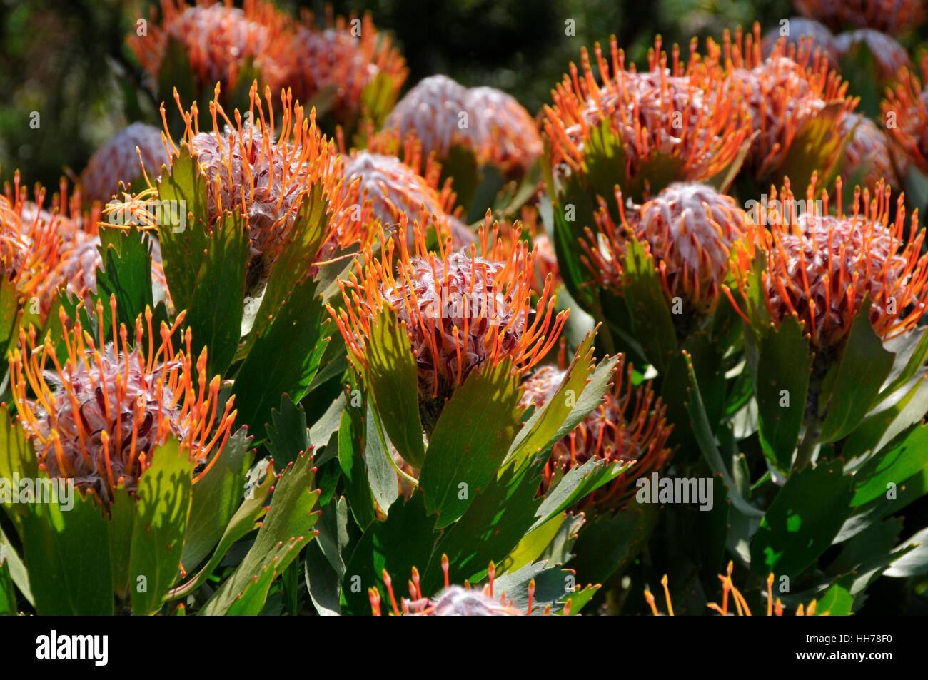 Leucospermum glabrum flower stock photos leucospermum glabrum the beautiful flowers of a pincushion stock image izmirmasajfo