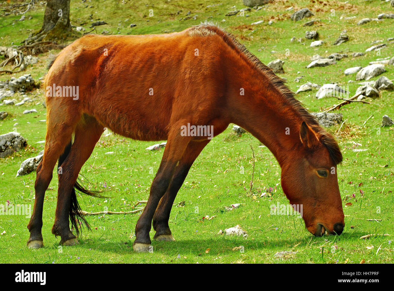 weak skinny horse old horse eating grass in a funny position in a slope - Stock Image