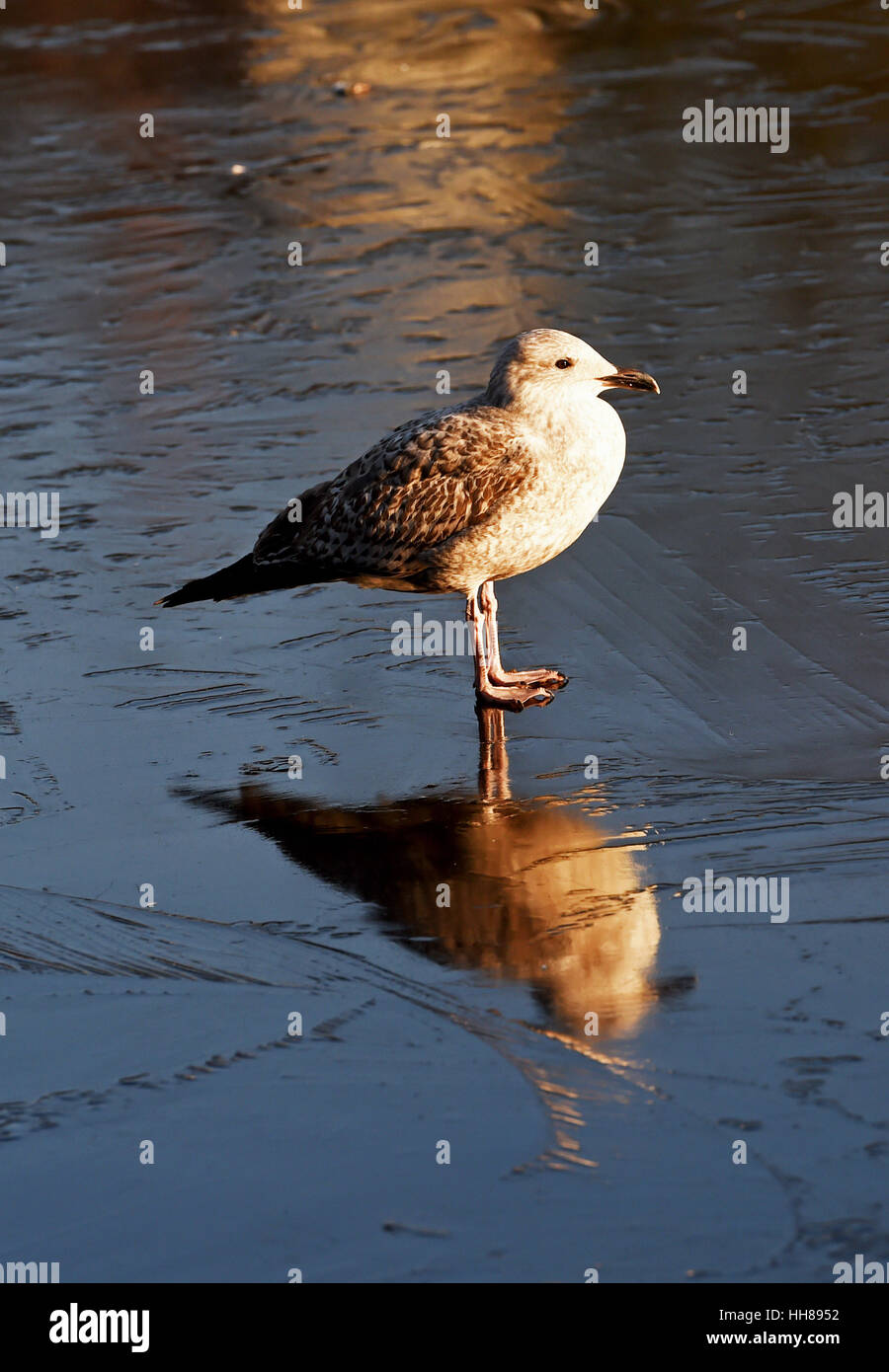 Brighton UK 18th January 2017 - Young seagulls have trouble keeping their feet on the ice on Queens Park pond in - Stock Image