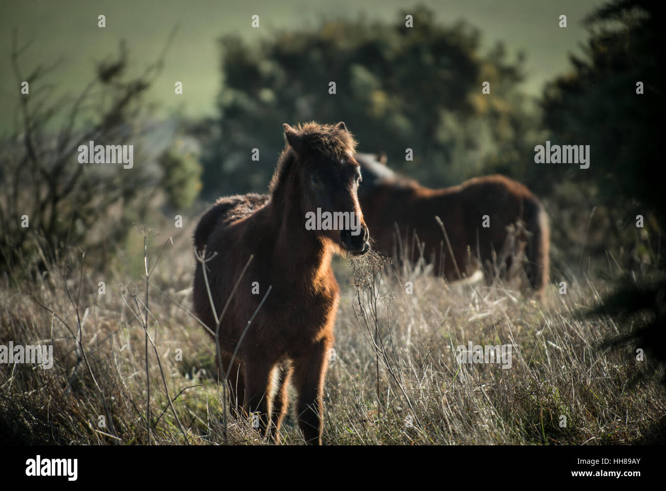 A pony at Cissbury Ring in the South Downs National Park, West Sussex, England. - Stock Image