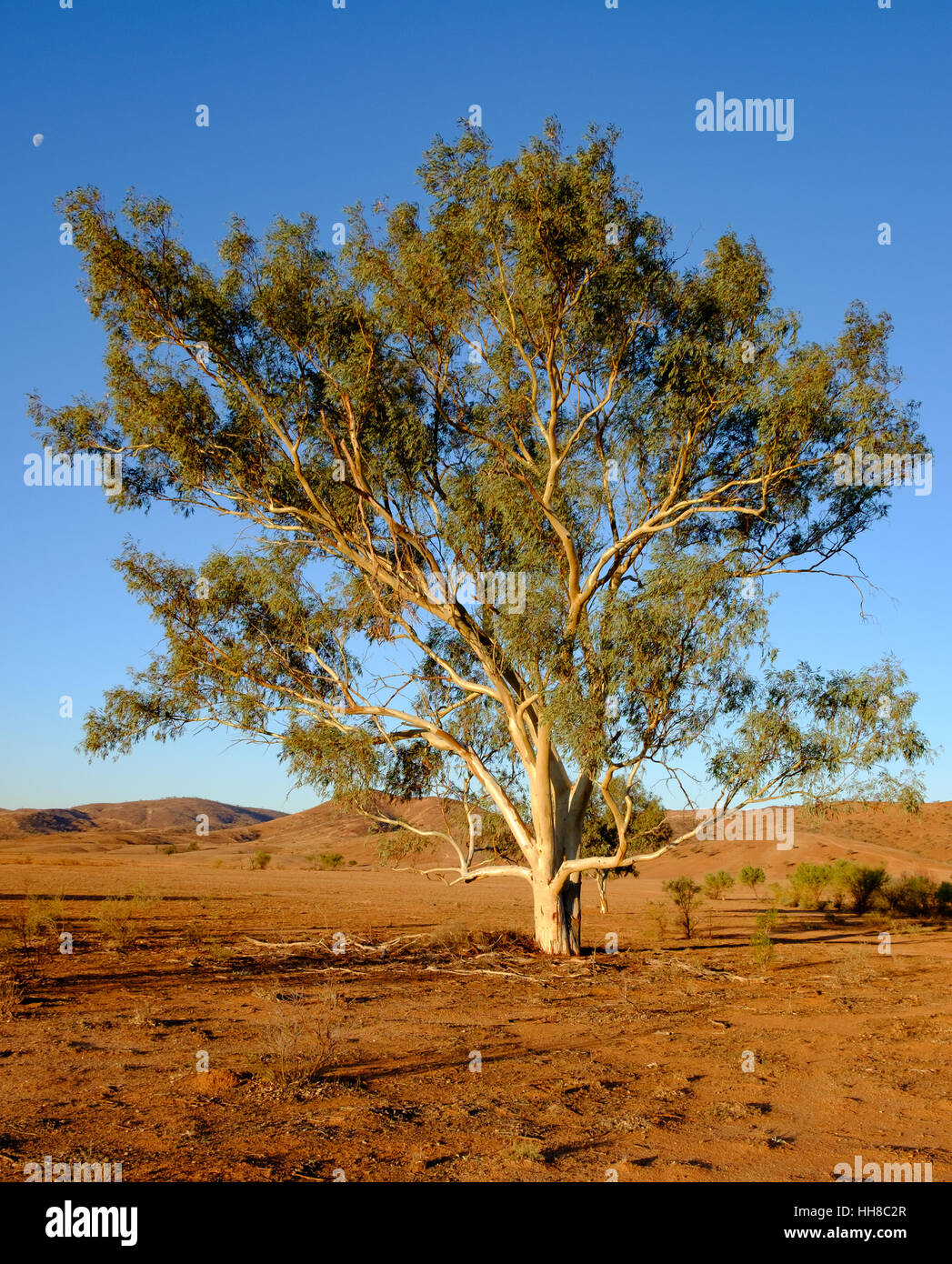 Large river red gum tree (Eucalyptus camaldulensis) in late afternoon light against a desert background in outback - Stock Image