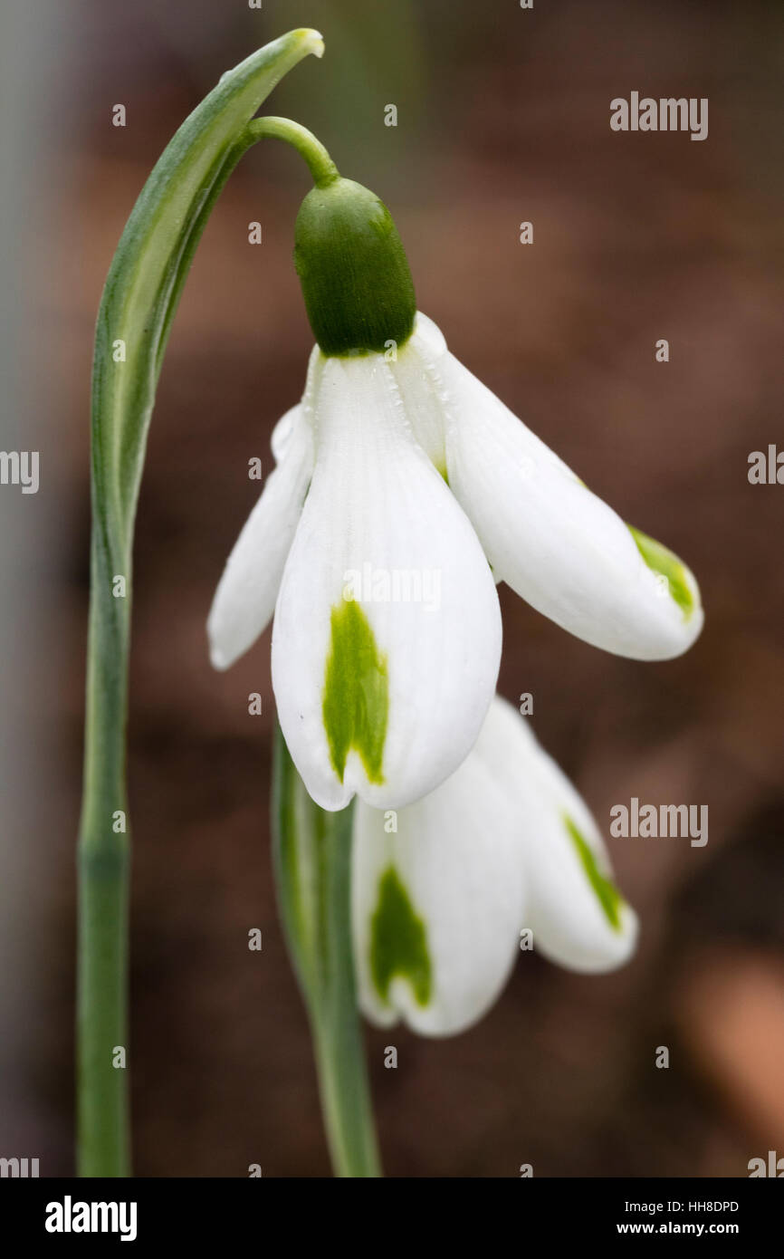 Close up of flower of the early blooming, green marked hybrid snowdrop, Galanthus x hybridus 'Trumps' - Stock Image