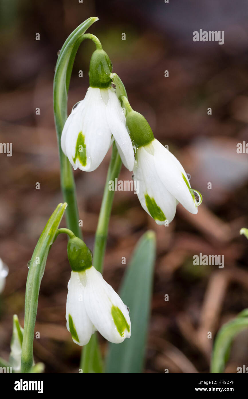 Close up of flowers of the early blooming, green marked hybrid snowdrop, Galanthus x hybridus 'Trumps' - Stock Image
