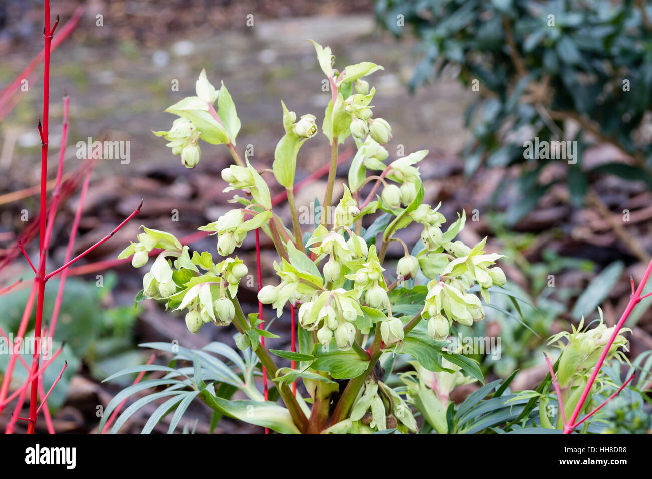 Red tipped flowers and reddish flower stems of the stinking hellebore, Helleborus foetidus 'Wester Flisk group' - Stock Image