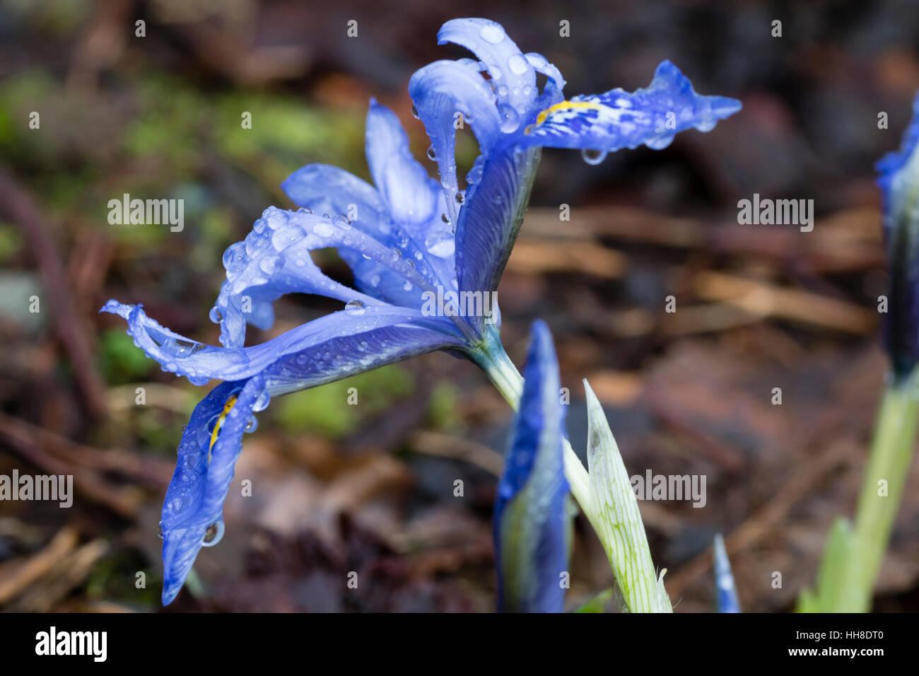 Single blue winter  flower of the dwarf reticulata type Iris, Iris histrioides 'Angel's Tears' - Stock Image