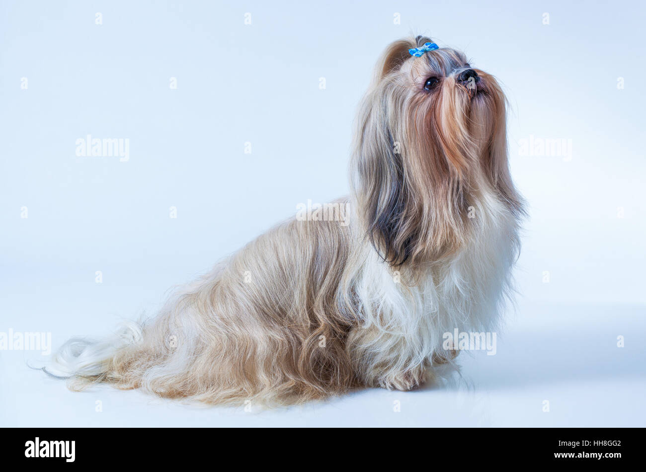 Shih Tzu Dog With Long Hair Sitting And Looking Aside On White And