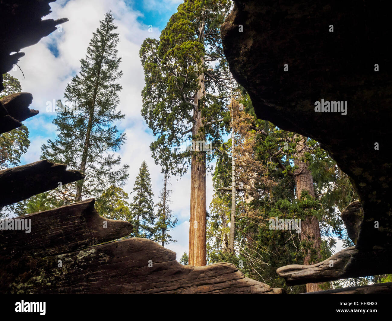 View from inside a fallen hollow giant redwood tree, Grant Grove, Sequoia National Forest. Visitors can walk though the tree. Stock Photo
