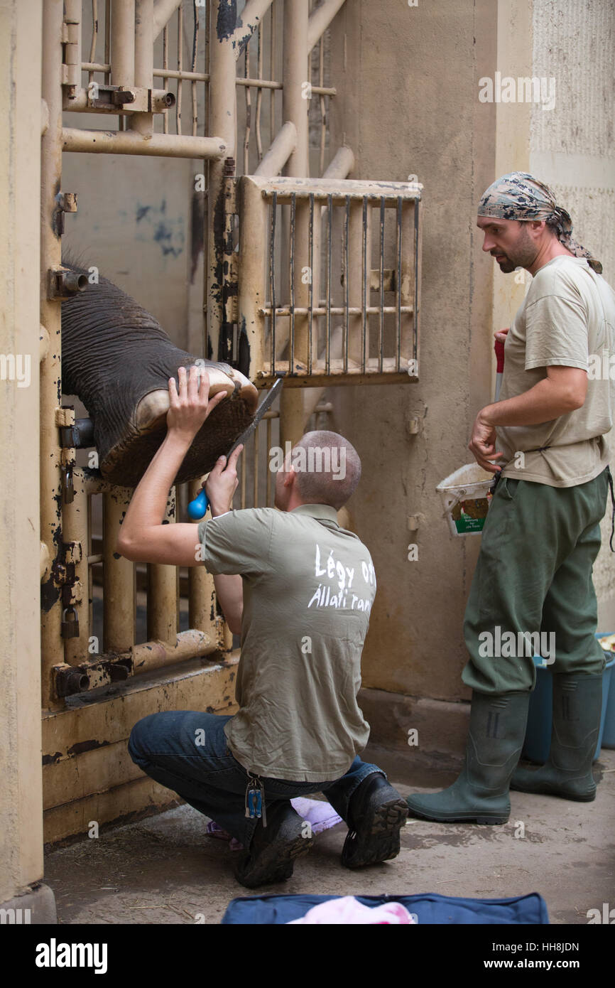 An elephant having its large feet pedicured by a zoo keeper inside Budapest Zoo, one of the oldest zoos in the world, - Stock Image