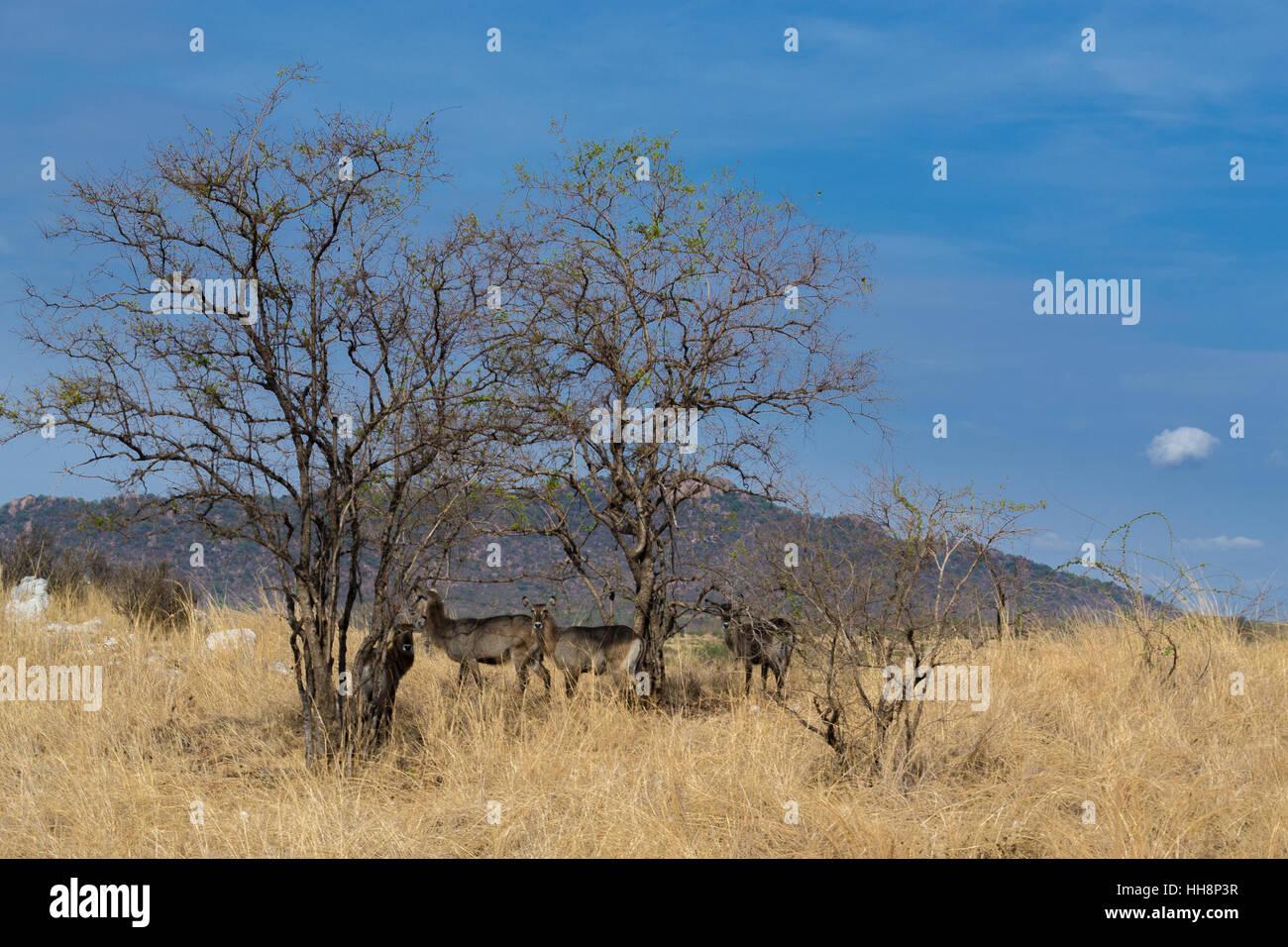 Africa wildlife, live free on national parks, safari - Stock Image