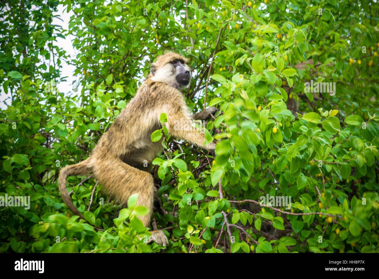 Wild monkey on the tree, Africa, Tanzania, safari - Stock Image