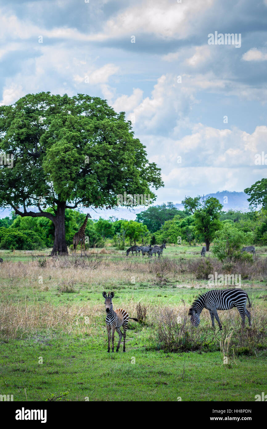 Cute baby zebra with her mother and relatives, africa wildlife, safari - Stock Image