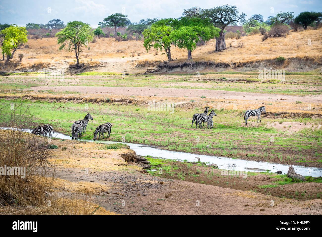 groups of zebras on national park, tanzania, safari - Stock Image