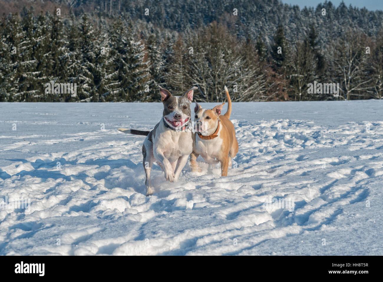 Two running staffordshire bull terriers in a snow - Stock Image