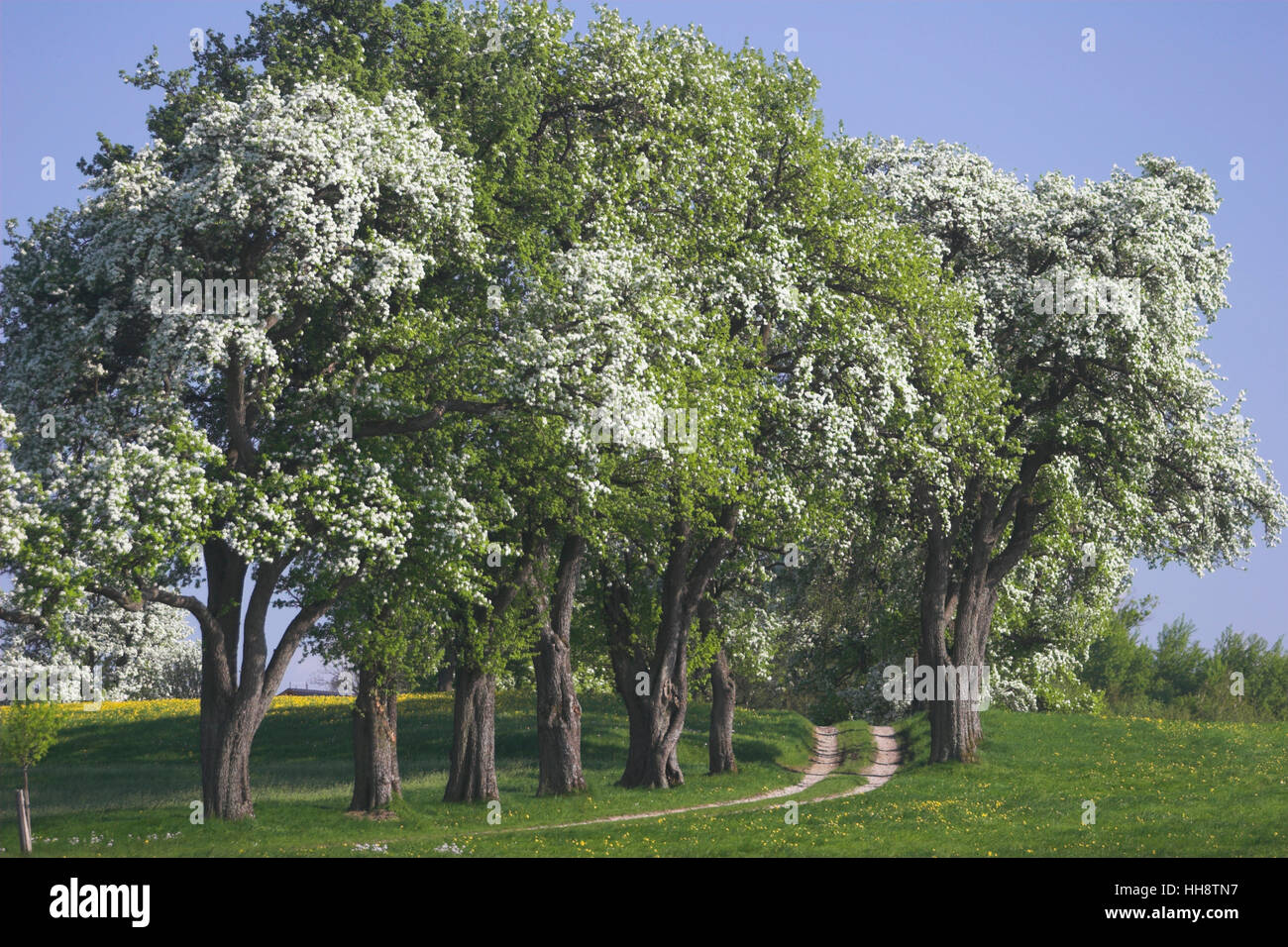 Blossoming Pear Trees Mostviertel Region Lower Austria Austria